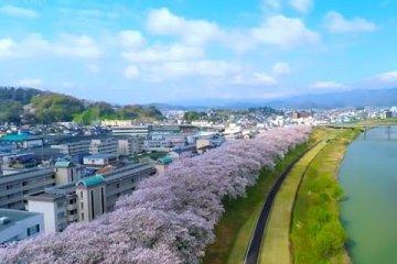 Hoa anh đào trên bờ sông Asuwa