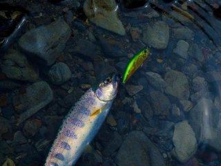 """سمكة السلمون اليابانية """"أميجو"""""""