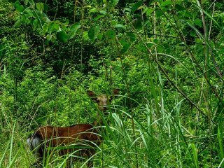 A deer encountered in the bush