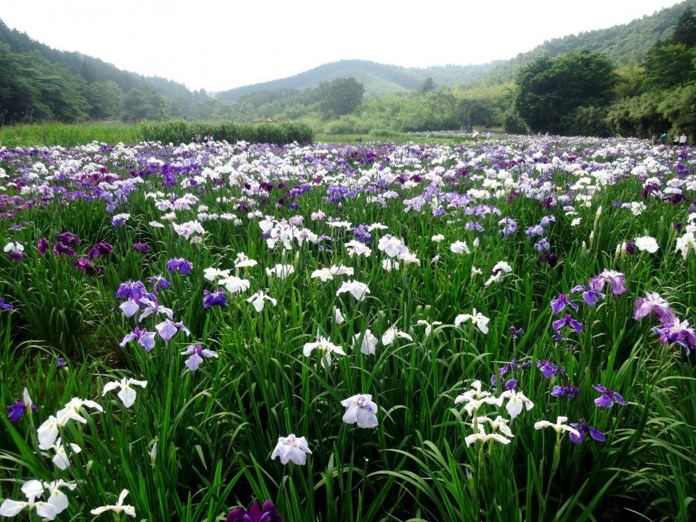 Ribuan lebih bunga iris bermekaran di tepian Danau Kagurame tepat di luar Beppu