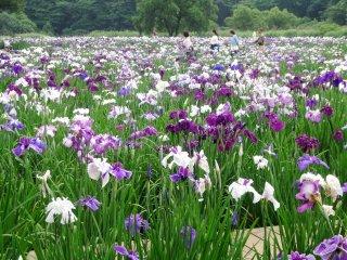 Tempat ini bisa sangat padat di akhir pekan di bulan Juni, dan biasanya ada festival satu hari yang diadakan di pertengahan periode mekarnya bunga iris