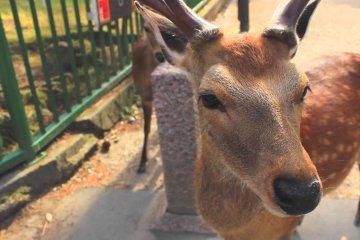 New Campaign Promoting Nara's Deer