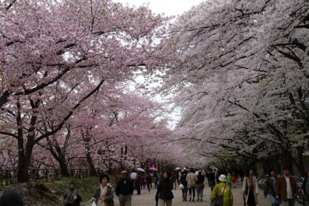 Hirosaki: Musim Sakura