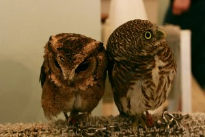 Some of the owls are just the size of your fist.