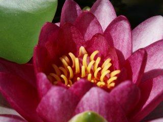 As flores cor-de-rosa vibrante fecham-se durante a tarde