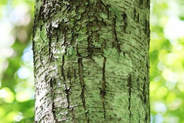 <p>Marks from bears&#39; claws where they climb up and down the trees</p>
