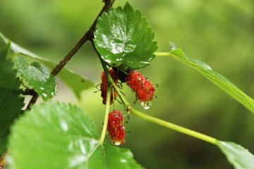 <p>These berries are the local bears&#39; favourite food</p>