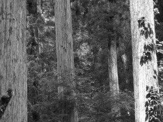 높은 자작나무은 온사방 있다
