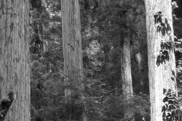 四处是高大而威严的杉树