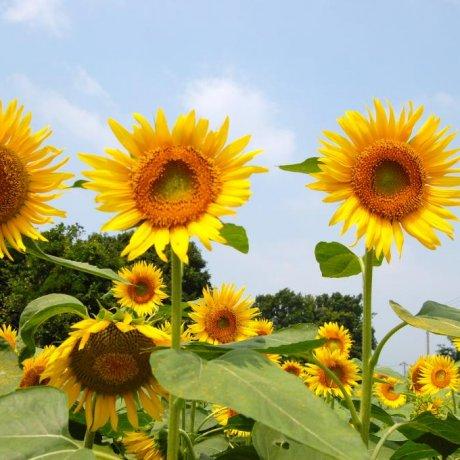 Zama Sunflower Festival