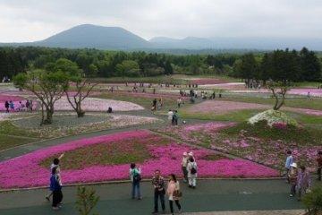 Hamparan bunga Shibazakura berlatar Fujisan.