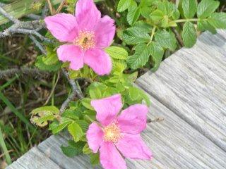 하마누스 꽃