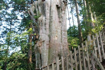 <p>The Shindai Sugi Cedar. One of the largest and oldest (~3,000 years old?)</p>