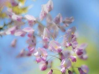 Flores das glicínias
