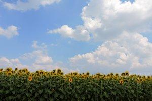 Os campos de girassóis fazem uma vista maravilhosa
