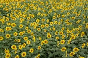Himawari batake (padang bunga matahari) di kota Zama