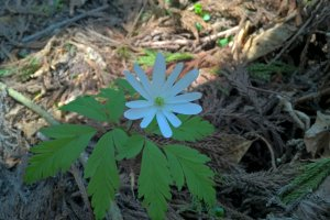 A white Anemone Pseudoaltaica, かきずきいちげ, blooms in April