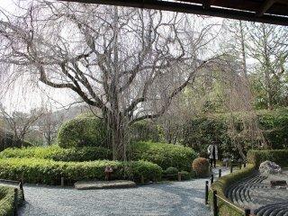 A weeping cherry tree in the Taizo-in zen garden