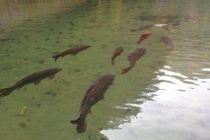 ปลาkoiเข้าคิวว่ายน้ำ น่ารักมีระเบียบเหมือนคนญี่ปุ่น