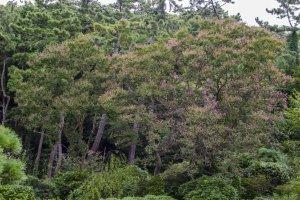 اشجار البنفسج