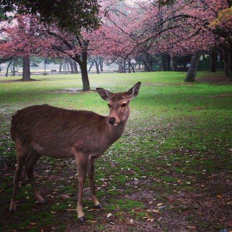 Taman Rusa Nara