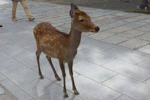Be sure to stop at Kintetsu-Nara station to visit the deer in Nara City.