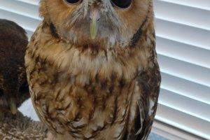 A rare chance to get a close encounter with owls.