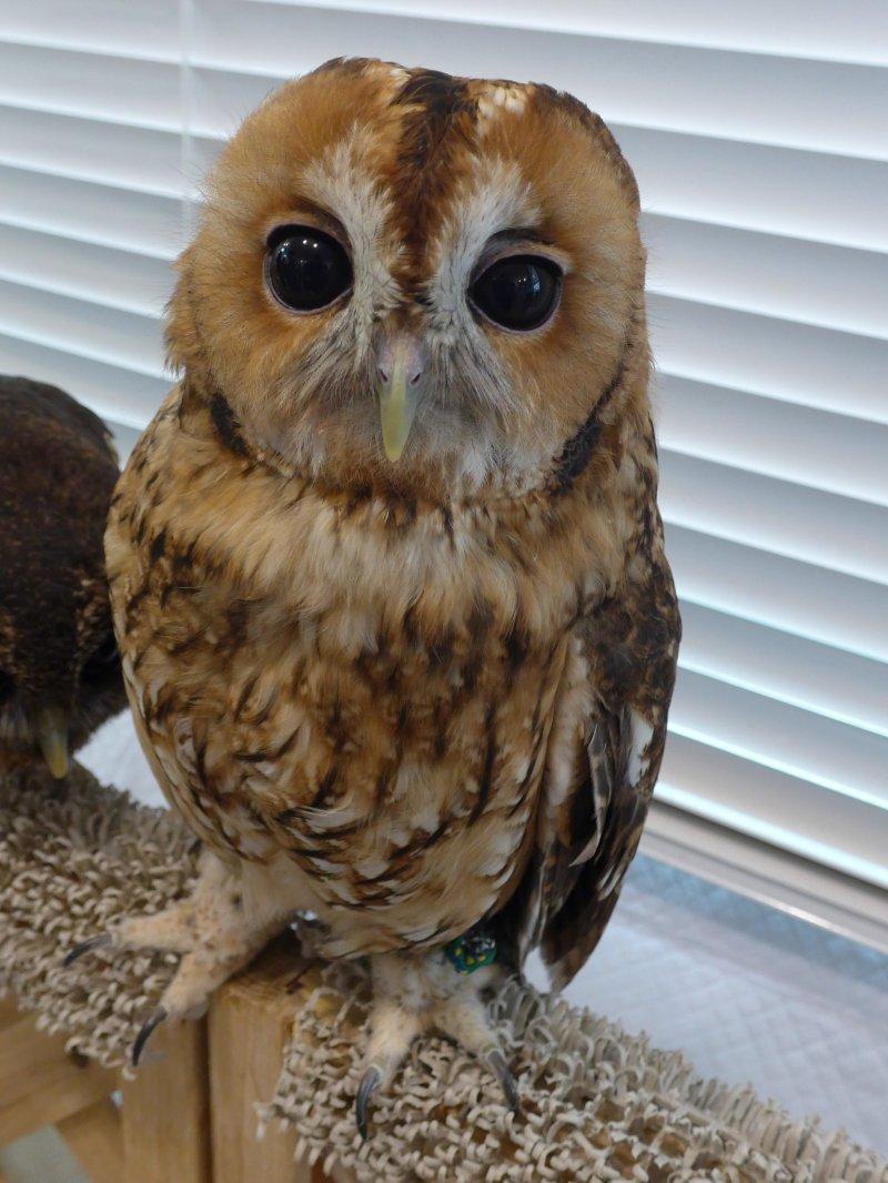 <p>A rare chance to get a close encounter with owls.</p>