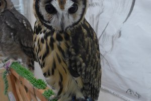 The owls can be untetheredto perch on your hand on shoulder.