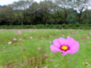 킨차쿠다 공원의 들판 앞쪽에 있는 외로운 핑크색 코스모스 꽃