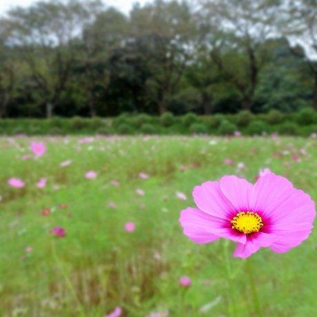 Bunga cosmos di Taman Kinchakuda