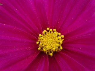노란 꽃가루와 어두운 분홍 꽃잎