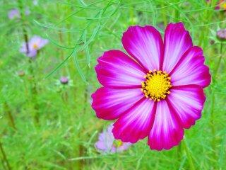 코스모스 꽃은 9월 말부터 10월 중순까지 핀다