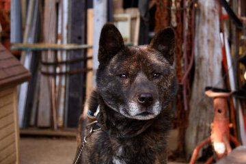 <p>Gon-chan, the other of the wolf dogs</p>