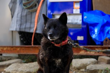 <p>Kako-chan, one of the wolf dogs</p>