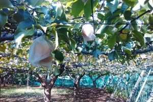 Japanese Pear Orchard