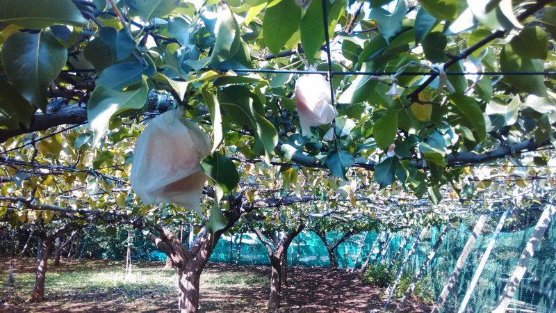 <p>Japanese Pear Orchard</p>