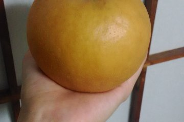 <p>One of the Japanese pears that I picked!</p>