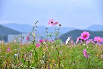 Hoa cúc Miyanoshita vào thu