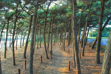 <p>Pine trees at the beach</p>