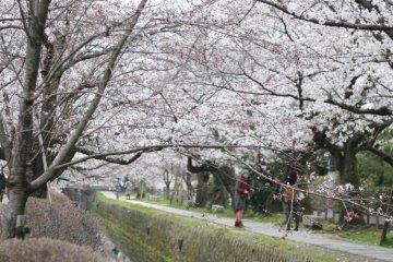 ซากุระบานสะพรั่งเหนือเกียวโต