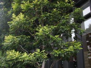 На площадке посажен ряд деревьев