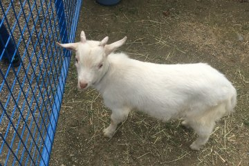 <p>A friendly goat at the petting zoo.</p>