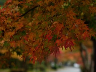 Beautiful momiji leaves in different stages of transformation