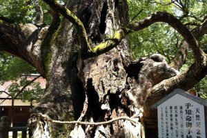 Ancient camphor tree
