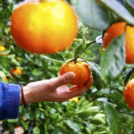 สวนส้มกะมะโกริ จ.ไอจิ
