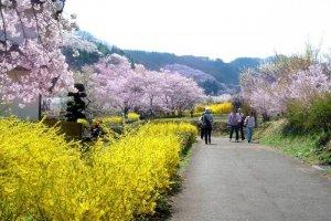 ภูเขาฮะนะมิยะมะ (Hanamiyama) สถานที่ชมซากุระอันดับหนึ่งของเมืองฟุกุชิมะ