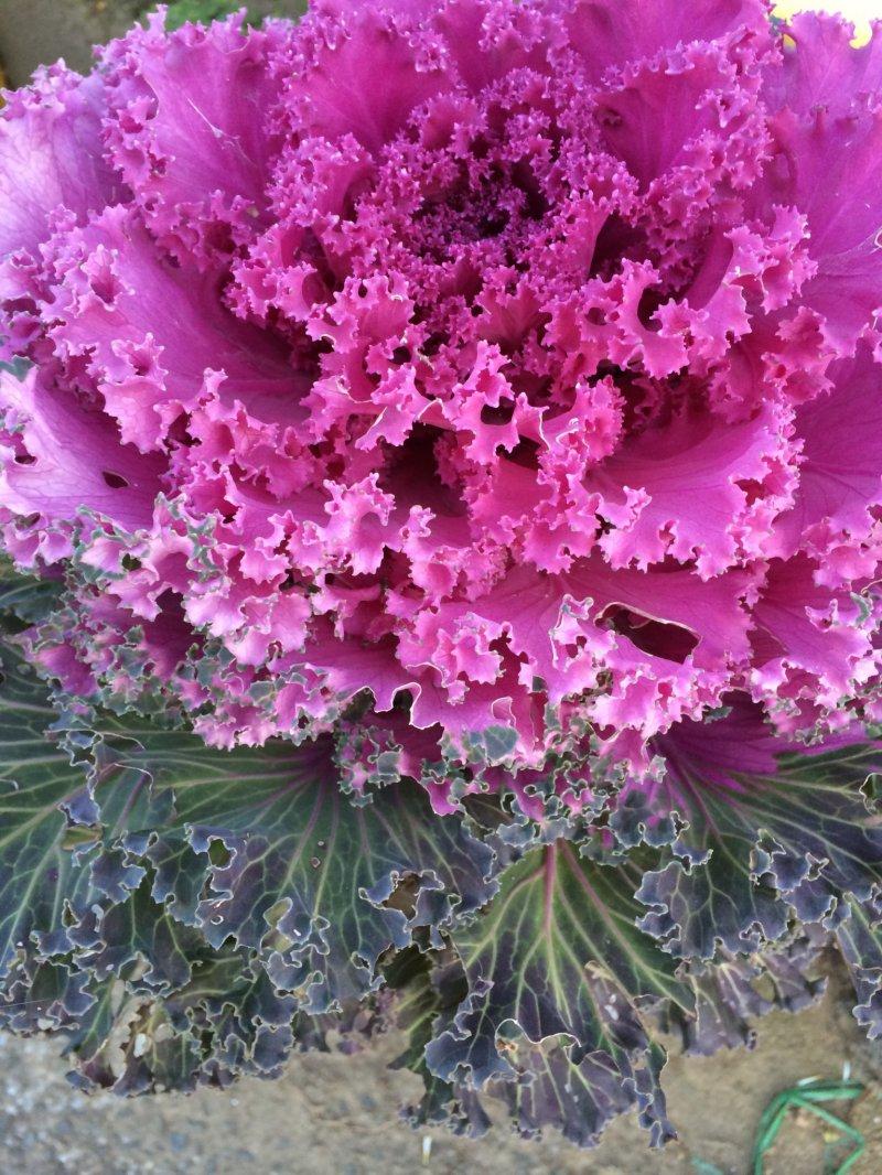 <p>Vibrant winter cabbage colors brighten up the winter.</p>