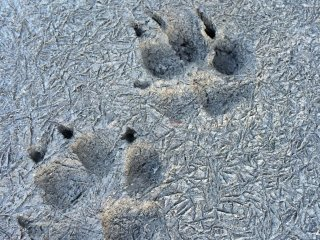 Perhaps a dog went for a walk on a cold day -- we can see its footprints because there is no snow on the ground!