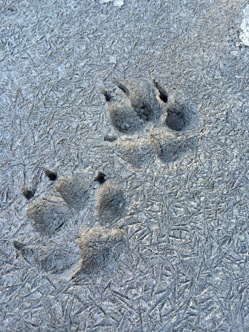 <p>Perhaps a dog went for a walk on a cold day -- we can see its footprints because there is no snow on the ground!</p>